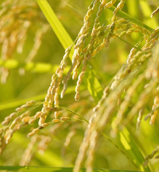 南魚沼塩沢産コシヒカリ