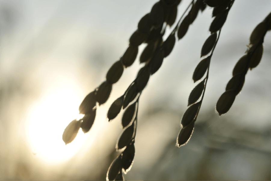 夕陽に照らされる稲